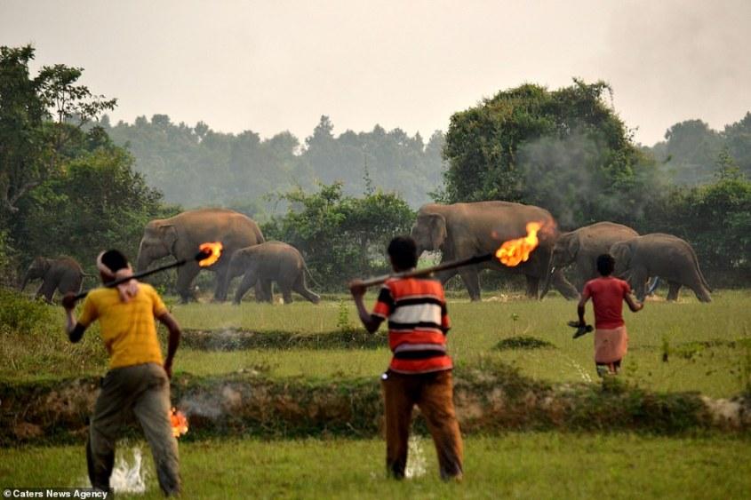 Elefanten- werden mit feuer bejagd