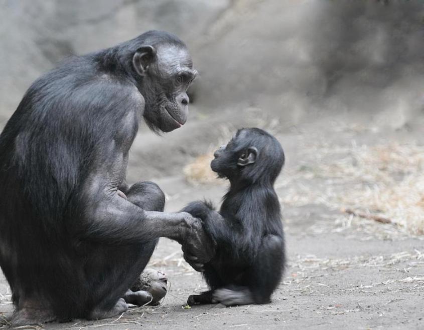 gorilla mama mit kindpg