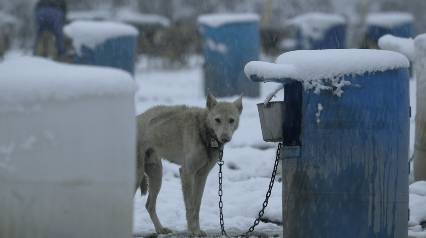 Mitch-Seavey-chained-dog-in-snow