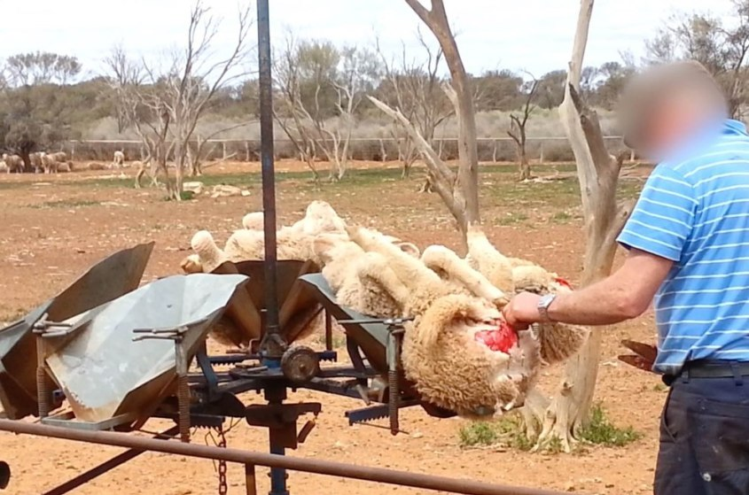 Schafe-Wolle-Merino -Australien-PETA-USA