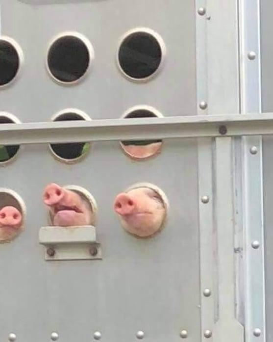 schweine gucken durch transporten