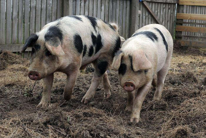 Schweine in der Schulepg