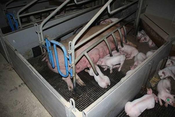 Schweine mutter und ferkelt4