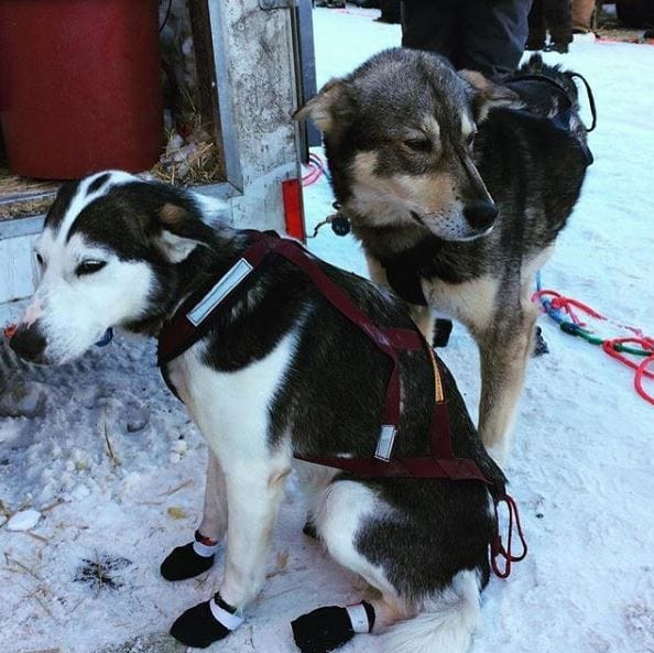 sled-dogs-iditarod-1