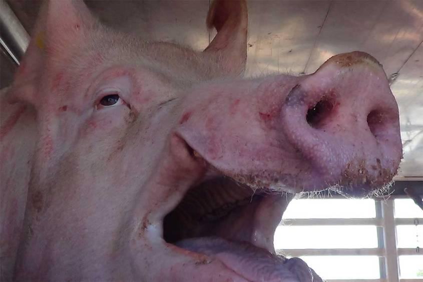 Tiertransport-Schweine-Hitze-Stress-BIGA-TTEU