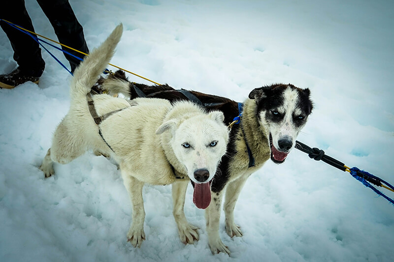 two-sled-dogs-363702_1920