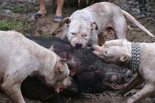wildschwein attakiert von Hundepg