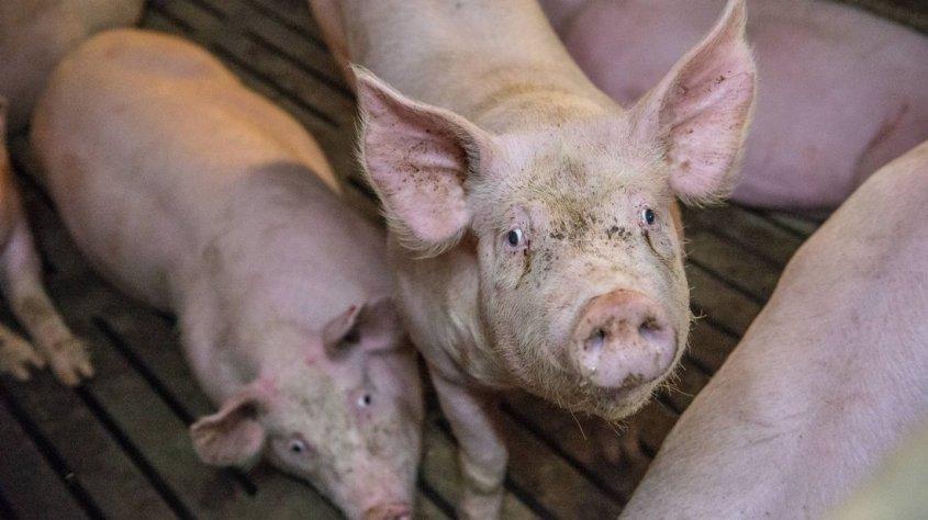 zwei-schweine-an-einer-britischen-schule1