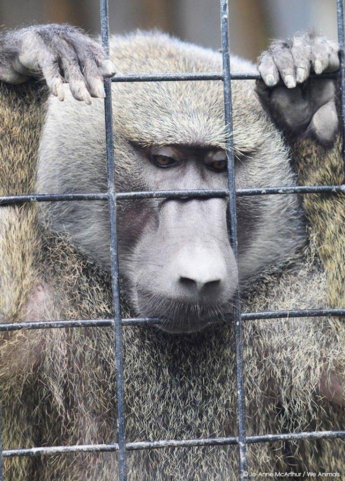 Affe im Zoo hinter Gitternpg