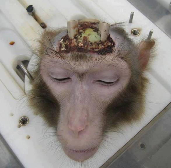 Affe mit elektroden im Kopf