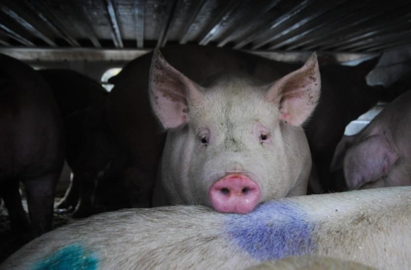 annie Mc Arthur Foto Schweino