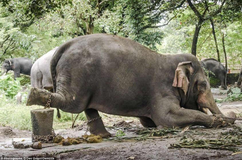 Elefanten in Thailand gefoltert5
