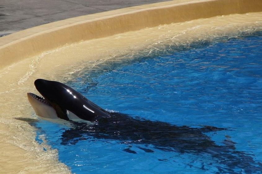 Orca-Gefangenschaft-pg