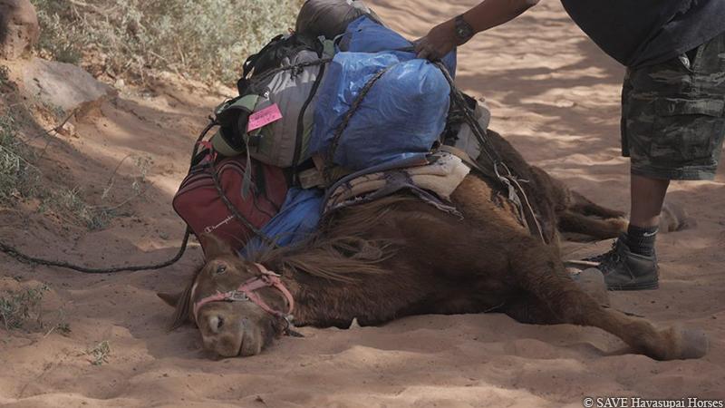 SAVE Havasupai Horse
