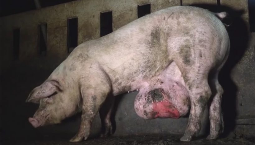 Schwein-Abzess