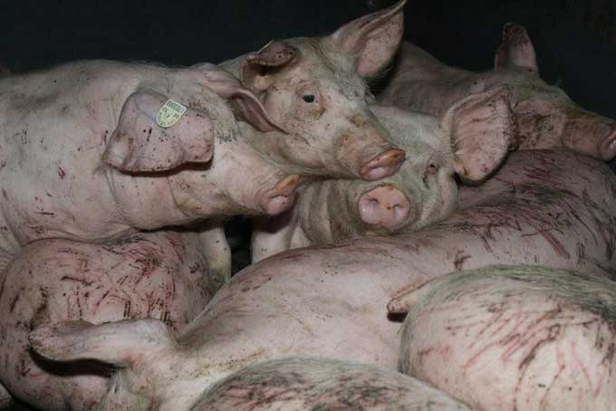 schweine bildjpg