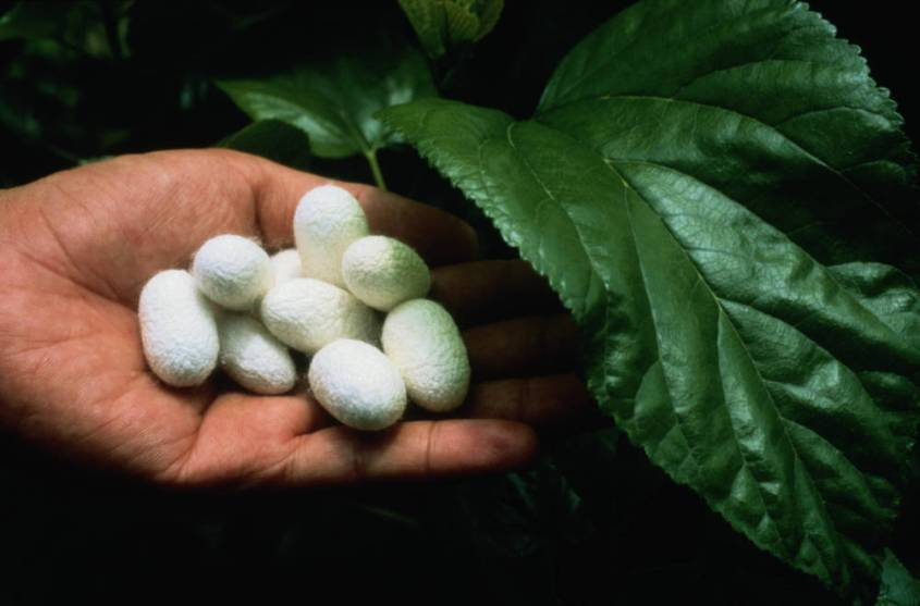 Silk Cocoons on Leaf