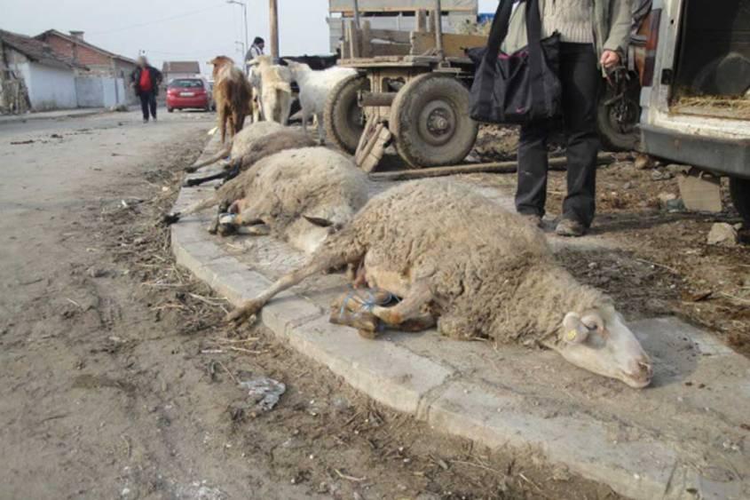 Tiermarkt-Bulgarien-Schafe-Boden-BIGA-BG