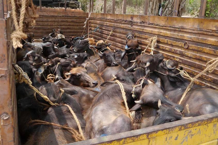 Tiermarkt-Indien-Rinder-UEberladen-BIGA-IND