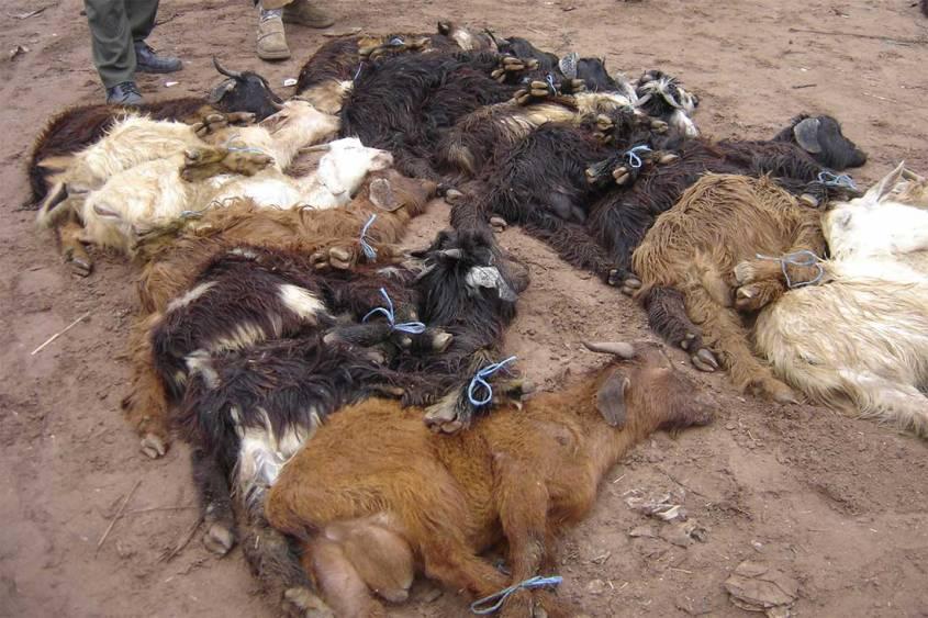 Tiermarkt-Marokko-Schafe-Boden-BIGA-MA
