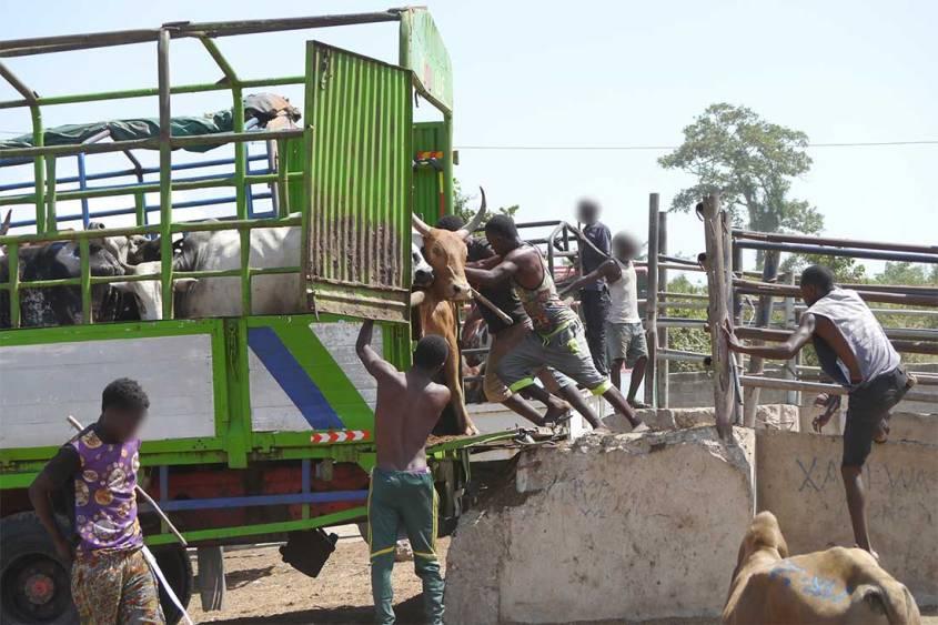 Tiermarkt-Tansania-Tiertransport-Verladung-BIGA-TAN