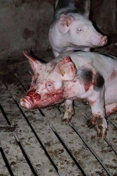 Verletzte Schweine_n