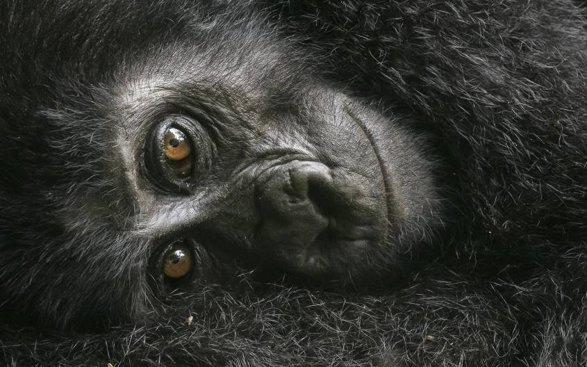 wildlife-photographer-urangutan