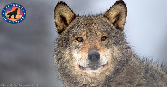 wolf mar22