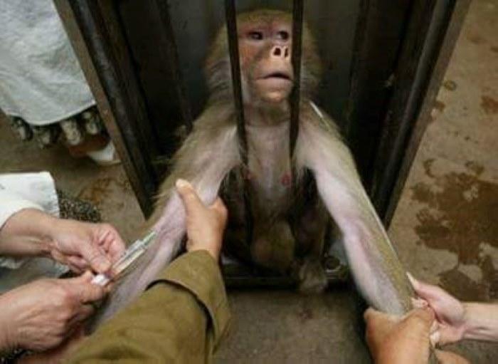 Affe als Labor Testtierejpg