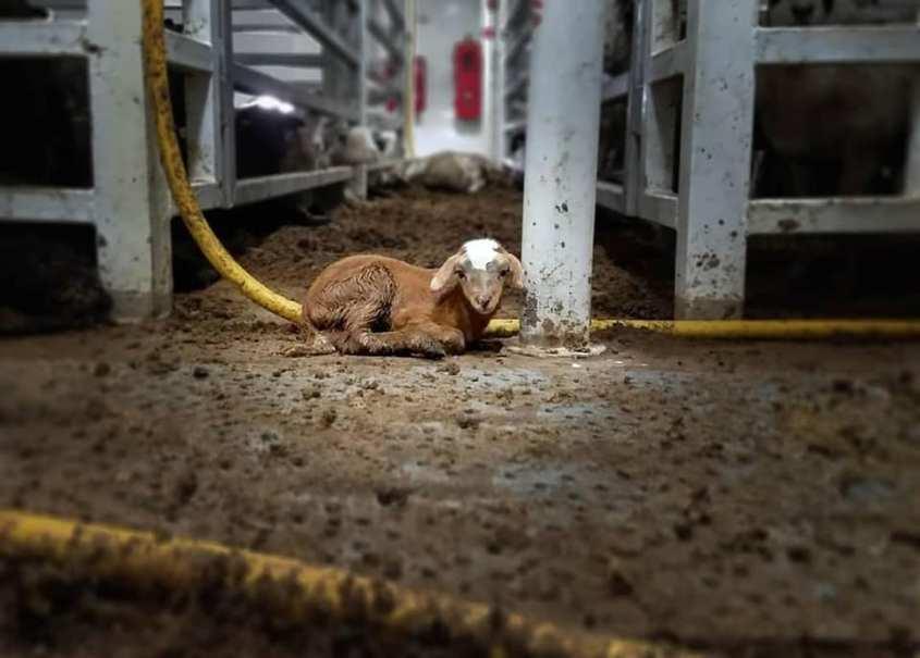 einsames Lämmlein Foto Tierschutzbüro_n