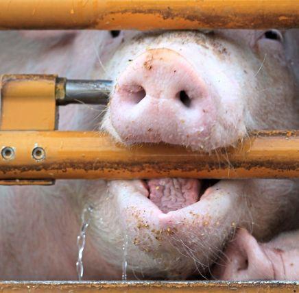 gestresste schweinejpg