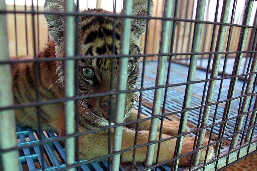 junger-tiger-tigerfarm-p
