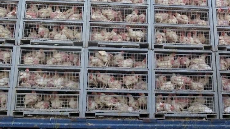 Kafige-mit-Huhnern-sind-auf-einem-Transporter-gestapelt