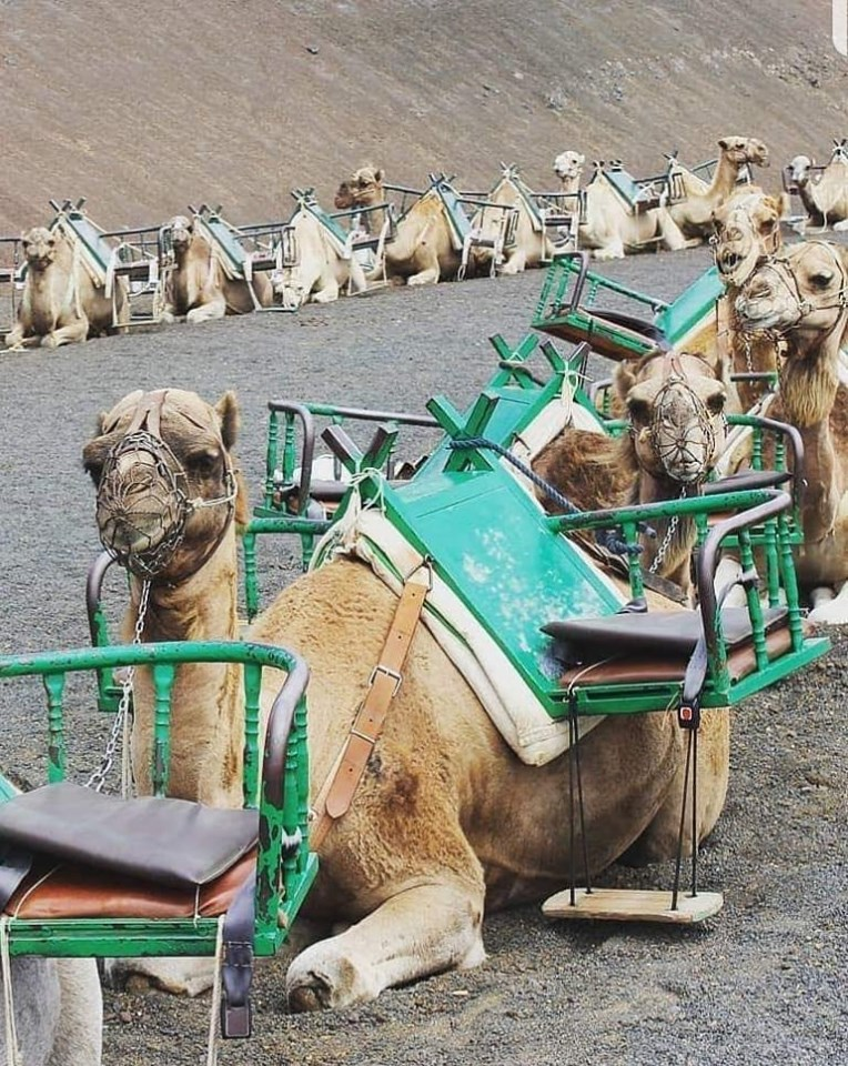 Kamelen_n