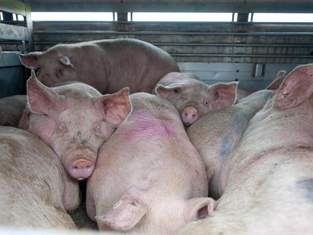 mehrere Schweine large-4-3