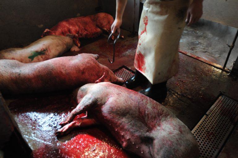 OntarioAbattoir_JMcArthur_schweine schlachtung2011-9964-768x510