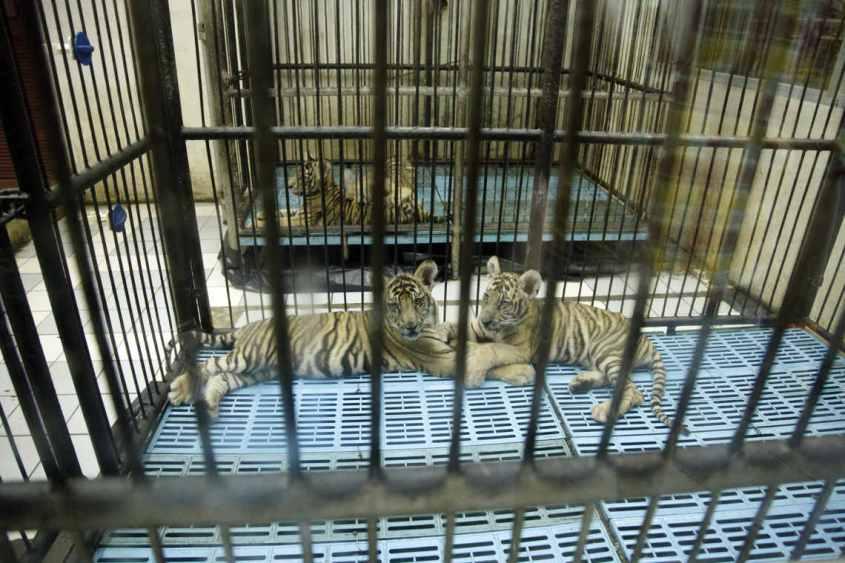 private-Tigerfarm-Bangkok-Thailand-c-Adam-Oswell-WWF