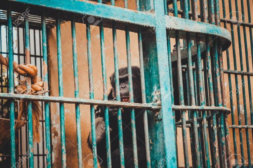 chimpanzee in cage at giza zoo, egypt