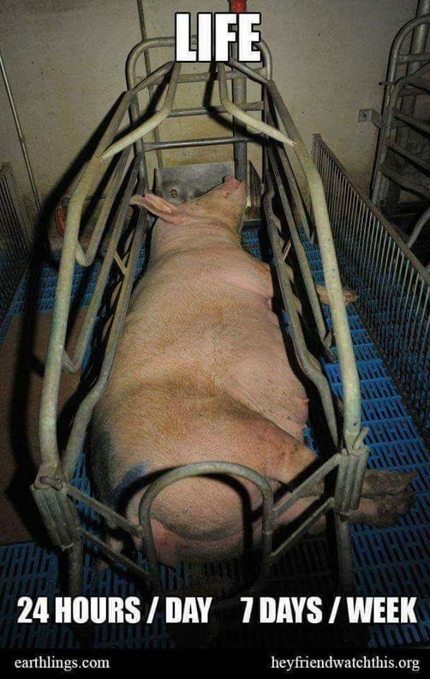 schwein in Kasten und slogan dazun