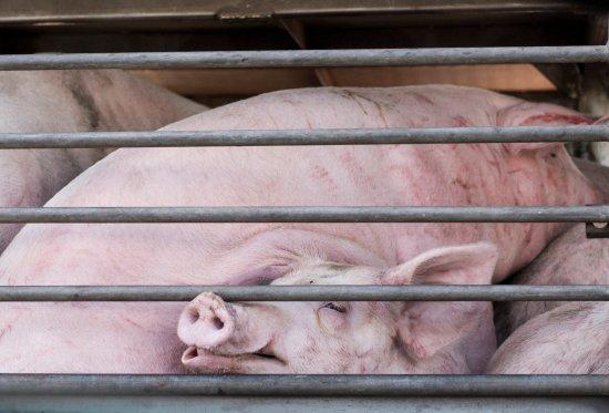 schweine im Transportjpg