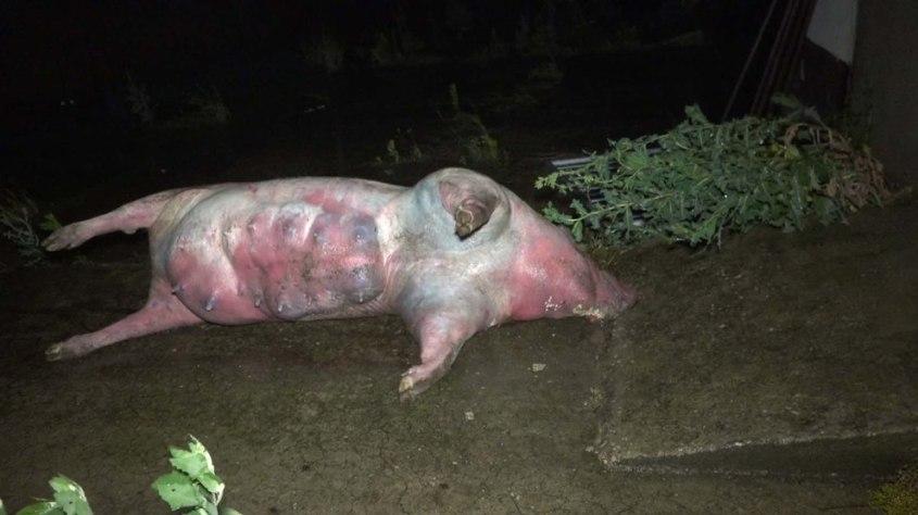 Schweinezucht-Guenthersdorf-tote-Sau