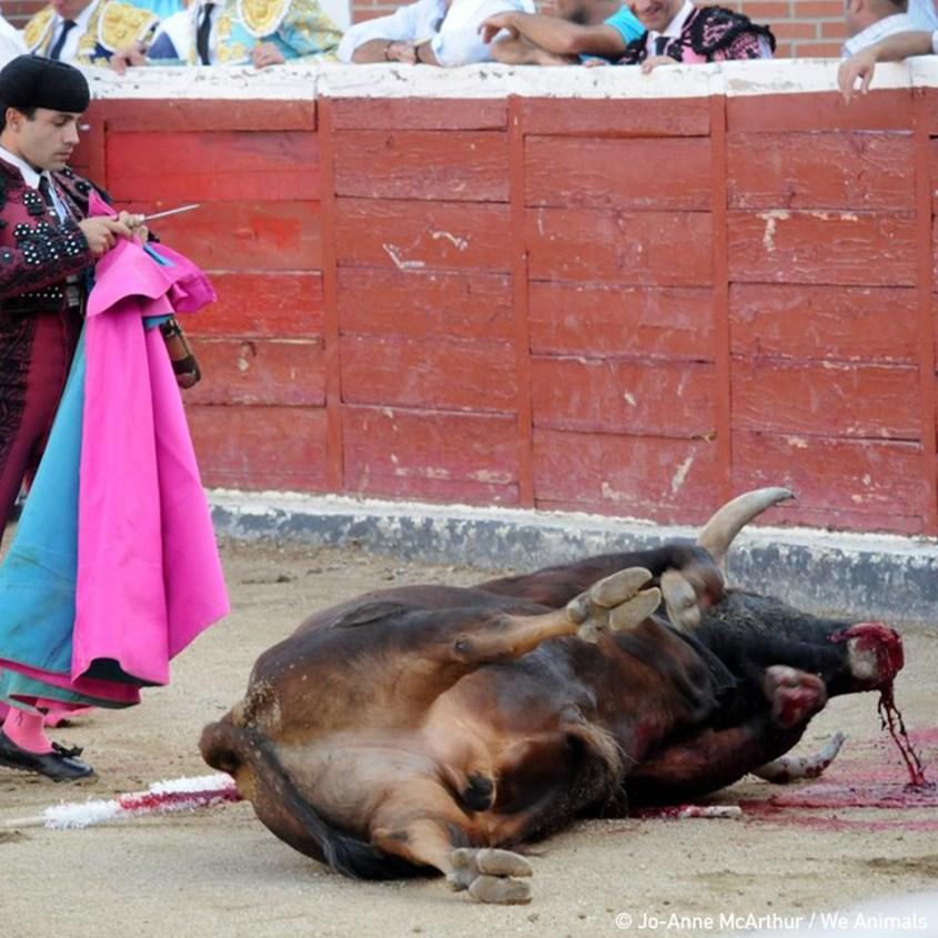 Stier mit Matador jpg