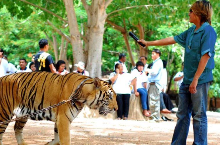Tiger-Selfies-1024-x-576-759x500
