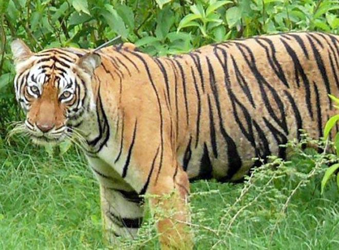 tiger660_121412051112