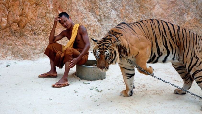 Tigers-Thailand_620x349
