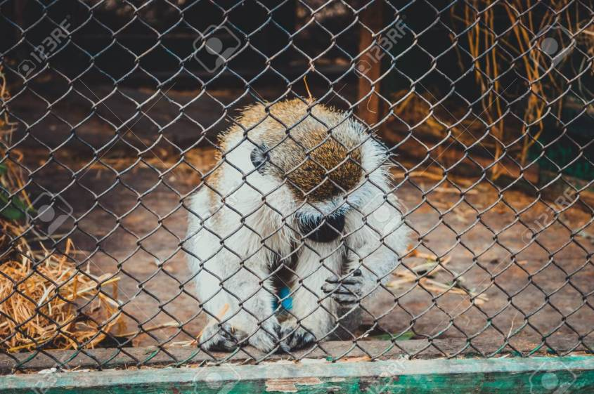 giza, egypt, march 4, 2017: white brown monkey in cage at giza zoo