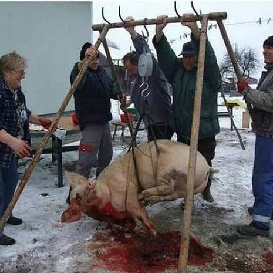 Arschlöcher mit hängendem Schweinjpg