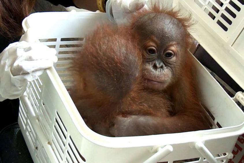 geschmugeltes Orangutan Baby 2jpg