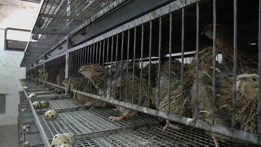 hühner in Käfigenpg