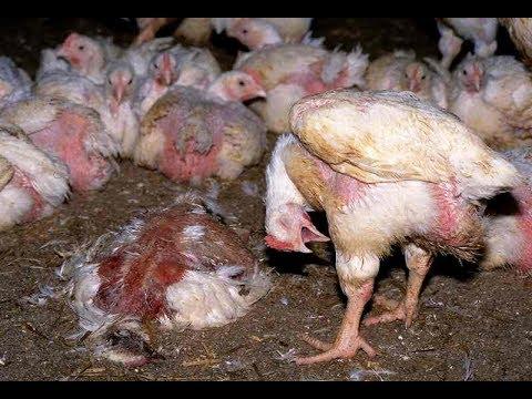 massen tierhaltung hühnerpg